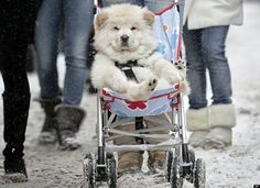 Stroller is the best way to go!