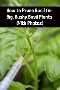 little pruning trick will allow you to grow super-sized basil plants so you can enjoy all the pesto you've ever dreamed of. Hoya Plants, Poisonous Plants, Medicinal Plants, Growing Herbs, Growing Vegetables, Basil Growing, Regrow Vegetables, Growing Tomatoes, Pruning Basil