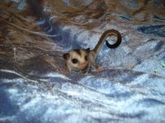 Feeding Pet Sugar Gliders (Exotic Pets) Omg it's so tiny