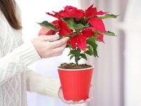Jak přimět vánoční hvězdu ke kvetení? Poinsettia, Planter Pots