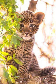 baby leopard?