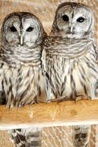 A pair of barred owls winter in an indoor area that was originally used by the state to raise pheasants for Maine hunters. They are among the inhabitants of the Maine Wildlife Park in Gray this winter.