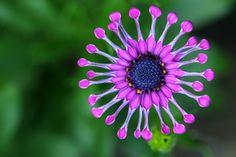 osteospermum african daisy macro photography