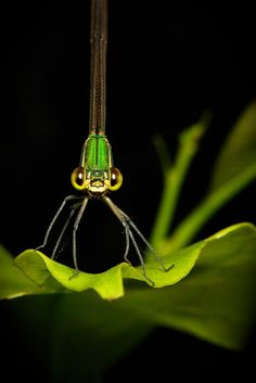 Clear-winged Forest Glory (Vestalis gracilis, Calopterygidae) by John Horstman (itchydogimages, SINOBUG)*
