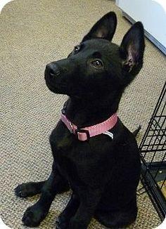 Bothell, WA - German Shepherd Dog Mix. Meet Gandie a Puppy for Adoption.