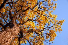 Manual do Mundo - As árvores mais curiosas e inusitadas do mundo