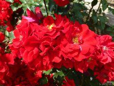Rosa Roter Korsar Kordes, 2004 (růže)