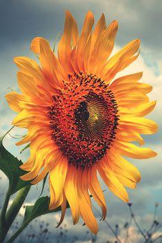 Mystical Sunflower