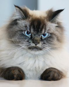 Meet Merlin the Ragdoll cat, the grumpiest feline you'll ever see | Metro News