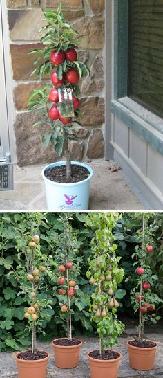 How To Grow Columnar Apple Trees Vertically