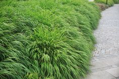 Hakonegräs som marktäckare