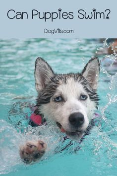 Can puppies swim? The answer to that depends! Find out whether your dog breed is made for water, and how to safely train him to swim! Training Your Puppy, Dog Training Tips, Training Schedule, Arthritis, Aggressive Dog, Dog Behavior, Dog Care, Doge, Memes