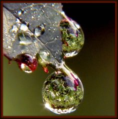 Rose Leaf Macro Dew Drops! | BERNADETTE CHIARAMONTE | Flickr