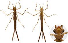 larve de  Calopteryx splendens