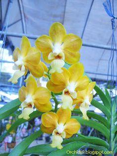 Vanda denisoniana Orchid