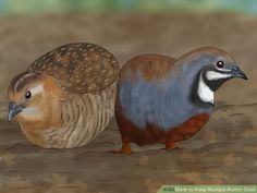 How to Keep Multiple Button Quail. Button quails, also known as Chinese painted quails, are small birds that make great pets. Guinea Pig Toys, Guinea Pig Care, Guinea Pigs, Small Birds, Little Birds, Reptile Cage, Reptile Enclosure, Button Quail, Raising Quail