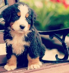 Bernese Mountain Dog, I want one so bad!!!!! like right now!