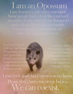 Opossum America's only marsupial, I think they are awesome! Animals And Pets, Baby Animals, Cute Animals, Wild Animals, Beautiful Creatures, Animals Beautiful, Baby Opossum, Spirit Animal, Mammals