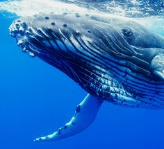 Tofua'a: Seeing Eye to Eye with Humpback Whales in Tonga