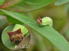 猫顔のイモムシだと?キティそっくりな顔をもつヒメジャノメの幼虫(昆虫注意) : カラパイア