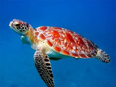 Beautiful And Charming Sea Creatures - Sea turtle - Sea Turtle Wallpaper, Animal Wallpaper, Wallpaper Backgrounds, Baby Sea Turtles, Cute Turtles, Turtle Baby, Beautiful Sea Creatures, Animals Beautiful, Sea Turtle Pictures