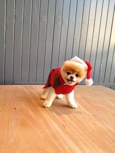 boo the pomeranian dog santa hat Boo The Cutest Dog, World Cutest Dog, Cute Puppies, Cute Dogs, Dogs And Puppies, Doggies, Boo Puppy, Boo Dog, Pomeranian Breed