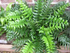 Bestel Cyrtomium falcatum – Ijzervaren voordelig bij Plantenweelde