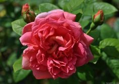 'The Endeavour' Rose Photo