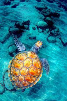 Tortuga marina en las playas de Venezuela.