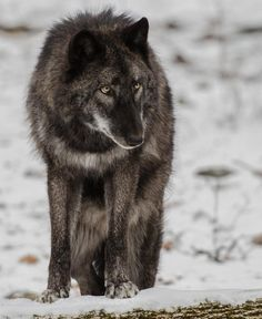 Superb Nature - beautiful-wildlife: Old Timer by Tom Sanders Wolf Love, Bad Wolf, Wolf Children Ame, Father Wolf, Howl At The Moon, Wolf Pictures, Beautiful Wolves, Paws And Claws, Wild Dogs