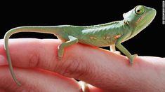 カメレオン - 世界の生息数の半分はマダガスカル島にすむ