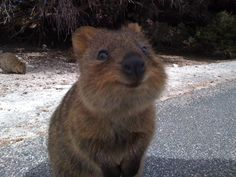 "These ten photos show that the Quokka, a small marsupial native to a small corner of southwestern Australia, truly has only ""good sides"" when it comes to getting its picture taken! The Quokka poses no threat to humans, and clearly, can be very friendly. Unfortunately, their friendliness may have contributed to their drastic reduction in population […]"