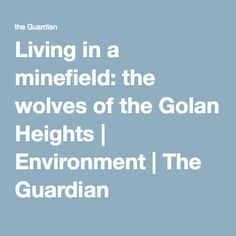 Living in a minefield: the wolves of the Golan Heights | Environment | The Guardian