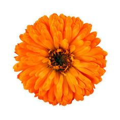 Marigold flowers can help heal irritated skin and promote a youthful glow. Add Marigold flower essence into your skincare routine today!