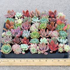 Assortment of 42 Echeveria soft succulent plugs chosen for color, texture, and variety. Drought tolerant, but will not tolerate frost. Excellent house plants. Beautiful wedding favors. Zone 9, 10, 11.