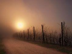 Lever de soleil sur un vignoble de Margaux (Guy Amiot , Soussans (33))