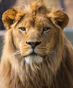 page is about all kinds of wild cats lions tigers jaguars panthers etc Big Cats, Cool Cats, Cats And Kittens, Beautiful Cats, Animals Beautiful, Animals And Pets, Cute Animals, Wild Animals, Carnivore