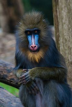 blue face Mandrill Why are the faces and backside blue? The bright blue color comes from the reflection of light from a region of parallel fibrils of the protein collagen in the connective tissue of the animal's face and backside. The red color is from blood vessels running close to the skin, and increases during excitement.