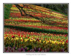 Tulips (Mainau Island-Germany)