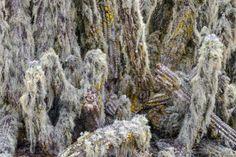 Atacama Desert Cactus photos, different species of Chilean cacti. Desert Cactus, Habitats, Succulents, Cacti, Deserts, Photos, Gardens, Cactus Pictures, Plants