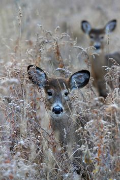 Doe in the grass - White-tailed deer by Jim Cumming on 500px