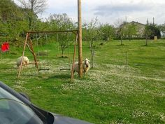 Sheep and swing