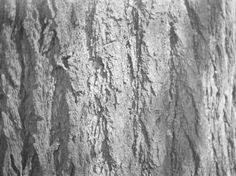 FHS3820  Image ID:  FHS3820 Image Date:  3/30/1952  Image Title:  Chinkapin. Image Caption:  [Close-up of bark of chestnut tree.] Photographer:  Cruikshank, James A.