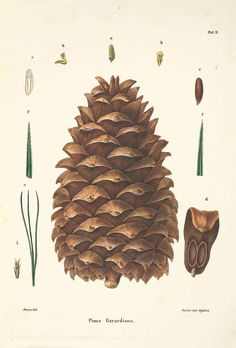 Pinus gerardiana Wall. ex D. Don Chilghoza Pine Antoine, F., Die Coniferen, Die Coniferen, p. 29, t. 10 (1840) [F. Antoine] - PRINTABLE