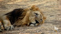 The pride of Gujarat....the rare Asiatic lion at Gir National Park, Gujarat, India