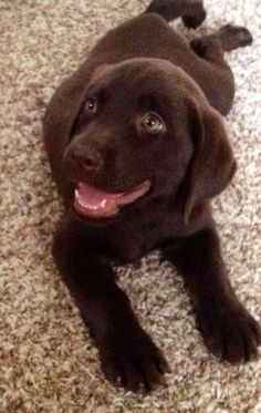 Mind Blowing Facts About Labrador Retrievers And Ideas. Amazing Facts About Labrador Retrievers And Ideas. Perro Labrador Retriever, Labrador Puppies, Rottweiler Puppies, Retriever Puppies, Perro Labrador Chocolate, Chocolate Lab Puppies, Chocolate Labs, Brown Labrador, Cute Puppies