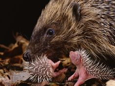 Google Image Result for http://cache2.allpostersimages.com/p/LRG/21/2143/8UQED00Z/posters/burton-jane-hedgehog-carrying-newborn-to-new-nest-erinaceus-europaeus-uk.jpg