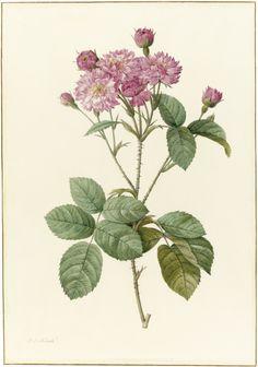 Pierre-Joseph Redouté (French, 1759-1840) - Rosa Centifolia Caryophyllea