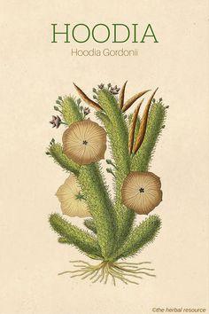Hoodia Gordonii Herb