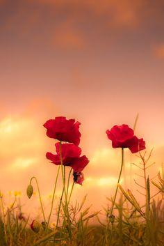 poppies at sunset.to paint Flowery Wallpaper, Sunset Wallpaper, Nature Wallpaper, Iris Painting, Stay Wild Moon Child, Sunset Photography, Amazing Flowers, Amazing Nature, Red Flowers
